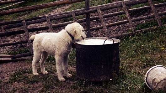 milk- dog